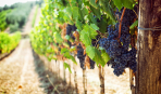 Виноград кишмиш: особенности посадки и ухода