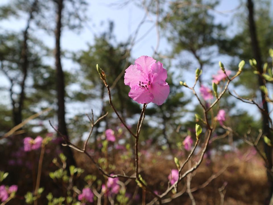Азалия листопадная
