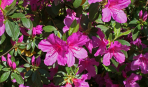 Листопадные азалии: правила посадки, размножение и уход