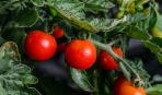 Для богатого урожая: что класть в лунку при посадке помидоров