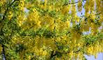 Бобовник - золотой дождь в вашем саду