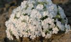 Шиловидный флокс - нежное очарование вашего сада