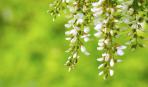 Акація: 10 найпопулярніших різновидів для красивого саду