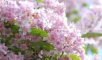 Всіяна квітами, розкішна кольквіція: посадка та догляд