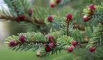 Хвойные с цветными шишками  - для современного сада