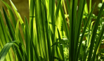 Как посадить аир в своем саду: виды, сорта и правильный уход