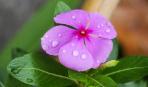 Как правильно обрезать барвинок: советы опытных садоводов