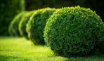 Как правильно обрезать декоративные кустарники