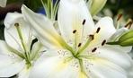 Розкішна лілія: коли та як треба пересаджувати цю квітку